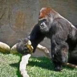 غوريلا يهاجم حارسة في حديقة الحيوانات في مدريد
